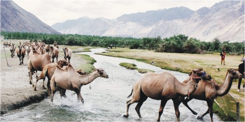 Bactrian camels in Ladakh
