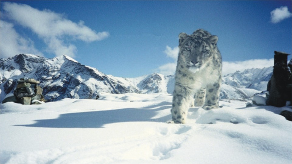 Snow leopard sightings in Ladakh