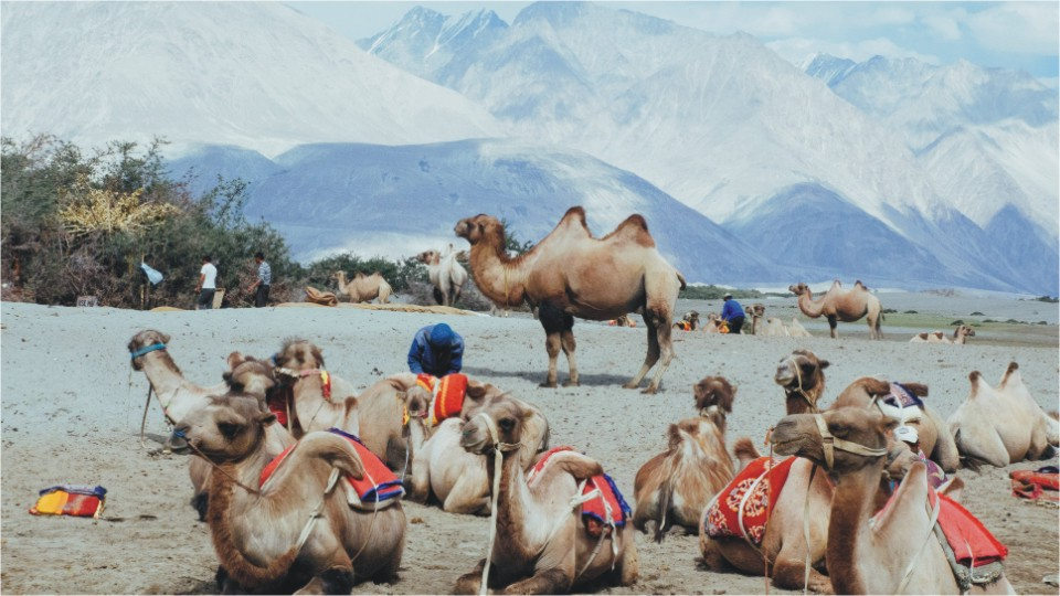 Bactrian camels in Hunder village, Ladakh
