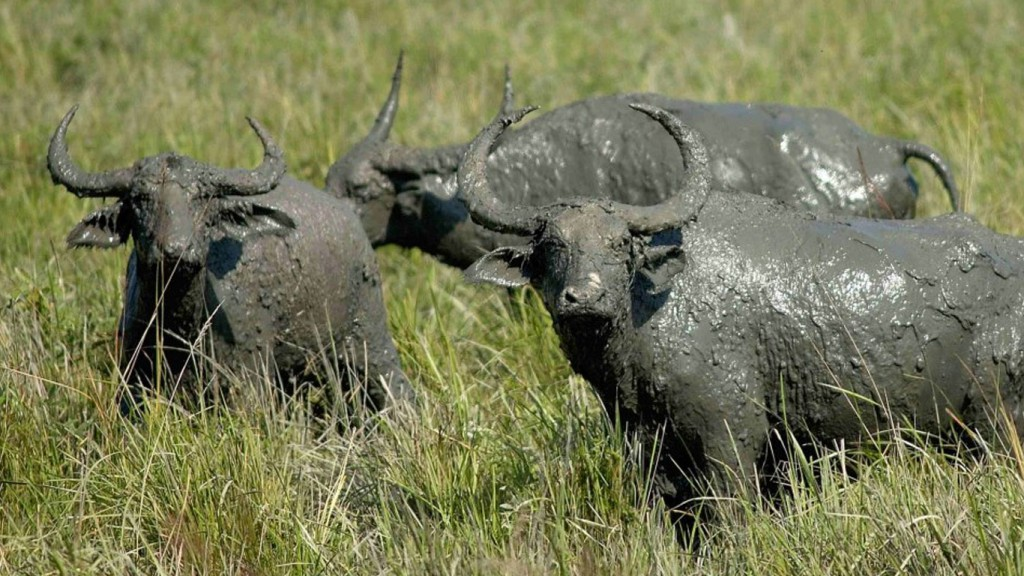 Wild Buffaloes in Orang National Park