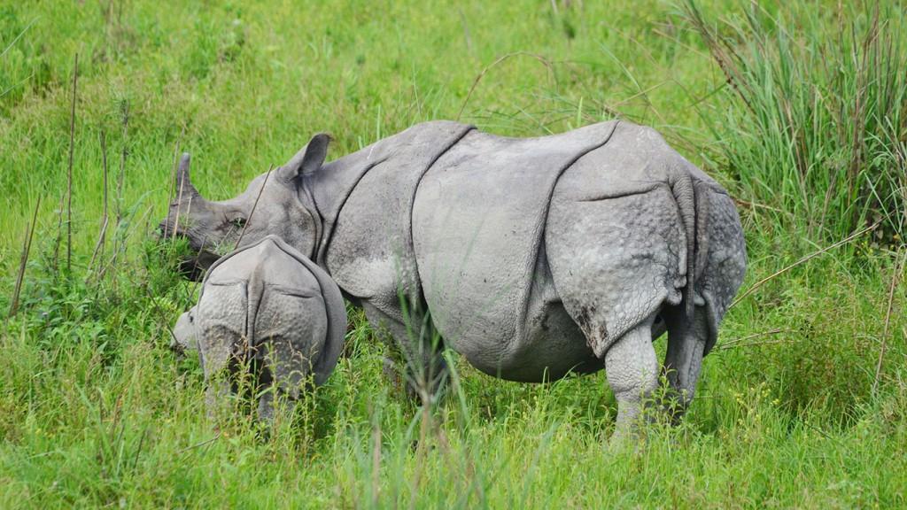 One horn rhino Kaziranga